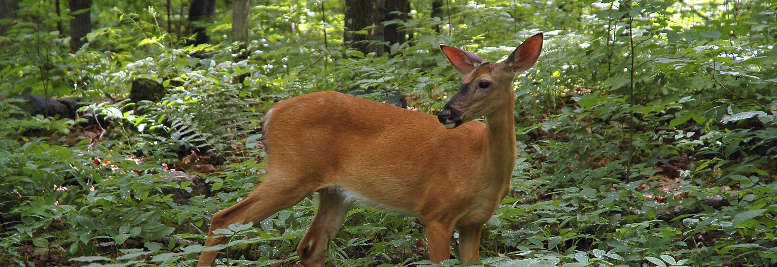 Forrest Deer